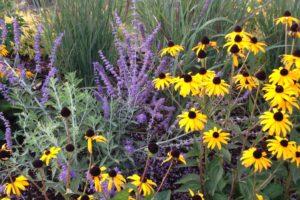 blackeyed susan | FarWest Landscape | Perennial Design |Boise Idaho