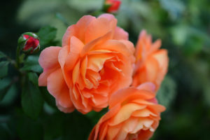 rose boise | farwest personal gardener | farwest landscaping boise